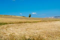 Żółta banatki adra przygotowywająca dla żniwa dorośnięcia w rolnym polu Zdjęcia Stock