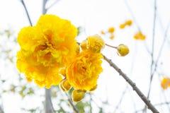 Żółta bawełna kwitnie, Jedwabniczej bawełny kwiaty, Drzewny piękny w sk Zdjęcie Royalty Free