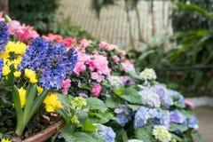 żółta chryzantema, purpurowy hiacyntowy kwiat w ogródzie Kwitnąć Zdjęcia Stock