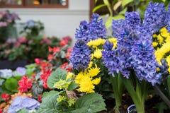żółta chryzantema, purpurowy hiacyntowy kwiat w ogródzie Kwitnąć Obrazy Stock