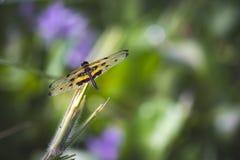 Żółta czarna oskrzydlona smok komarnica obraz stock