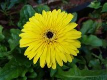 Żółta Gerbera stokrotka Obraz Stock