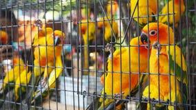 Żółta i pomarańczowa papuga w klatce przy jawnym parkiem Jandaya Parakeet fotografia royalty free
