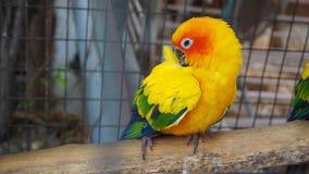 Żółta i pomarańczowa papuga w klatce przy jawnym parkiem Jandaya Parakeet obraz stock