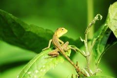 Żółta jaszczurka na liści zwrotach wyprostowywa zdjęcia stock
