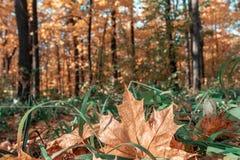 Żółta jesień liści deseniowa tekstura zdjęcie stock