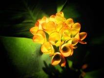 Żółta korona cierń roślina w ogródzie obraz royalty free