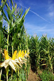 Żółta kukurudza. Fotografia Stock