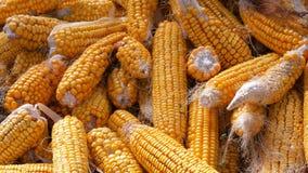 Żółta kukurudza która kłama w stajni Żniwo kukurydza Produkcja rolna zdjęcie wideo