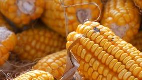 Żółta kukurudza która kłama w stajni zamkniętej w górę widoku Żniwo kukurydza Produkcja rolna zbiory wideo