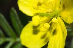 Żółta kwiat głowa, prowadzenie w makro- i zdjęcia stock