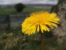 Żółta kwiat wiosna UK obrazy stock