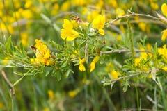 Żółta kwitnąca akacja fotografia stock