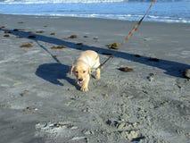 Żółta lab szczeniaka odprowadzenia puszka wyspa palmy Południowa Karolina plaża Zdjęcie Royalty Free