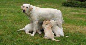 Żółta Labrador Retriever dziwka Normandy w Francja Która Karmi szczeniaki, zwolnione tempo zbiory