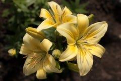 Żółta leluja Zdjęcie Royalty Free