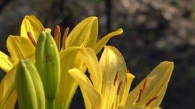 Żółta leluja kwitnąca Kolor żółty, delikatny kwiat z gryzącym zapachem zdjęcie wideo