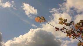 Żółta leszczyna opuszcza przeciw z cumulus chmurami i niebo zbiory wideo