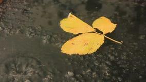 Żółta malinka opuszcza na lodzie zamarznięte kałuże zbiory wideo
