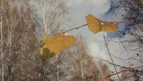 Żółta malinka opuszcza na lodzie zamarznięte kałuże zbiory