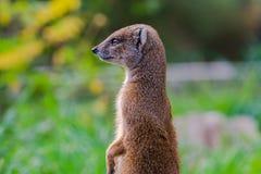 Żółta mangusty pozycja i patrzeć czujny zdjęcia royalty free