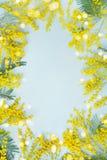 Żółta mimoza kwiatu rama Wiosny karta dla matki wielkanocy lub dnia Zdjęcia Royalty Free