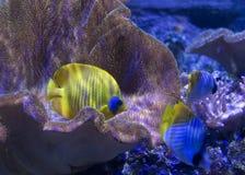Żółta motyl ryba Zdjęcie Royalty Free