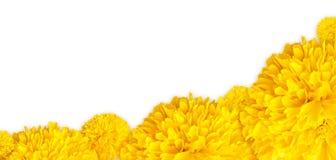 Żółta nagietków kwiatów rama na dolnym tle Obraz Stock