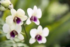 Żółta orchidea mieszająca z purpurami Kwitnąć w ogródzie Storczykowy spojrzenie świeży fotografia royalty free