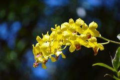 Żółta orchidea z miękkim tłem Zdjęcia Royalty Free