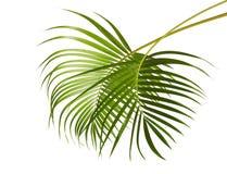 Żółta palma opuszcza Dypsis lutescens lub Złotą trzciny palmy, areka palmowi liście, Tropikalny ulistnienie odizolowywający na bi Obrazy Stock