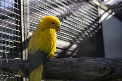Żółta papuga iluminują promieniem światło słoneczne obrazy royalty free