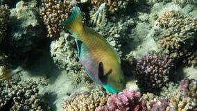 Żółta papugi ryba, Czerwony morze zdjęcia royalty free