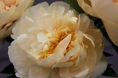 Żółta peonia w ogródzie botanicznym Fotografia Royalty Free