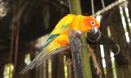 Żółta pomarańczowa papuga siedzi na gałąź i spojrzenia zestrzelają Obrazy Stock