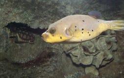 Żółta Puffer ryba Zdjęcie Stock