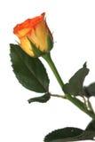 Żółta róża Zdjęcia Stock