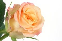Żółta róża Obraz Stock