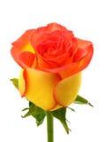 Żółta róża Zdjęcia Royalty Free