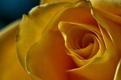 Żółta róża Pączek, płatki, bukiet Obraz Royalty Free