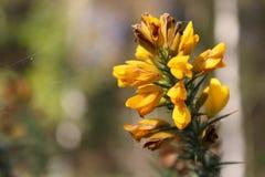 Żółta sieć zaskorupiający się wiosna krótkopędy zdjęcie royalty free