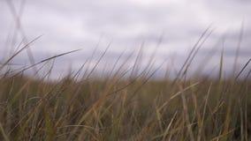 Żółta trawa Głownie wietrzny i chmurny zbiory wideo