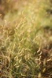 Żółta trawa z selekcyjną ostrością, przestrzeń dla teksta obraz royalty free