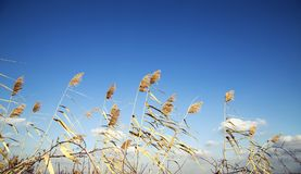 Żółta wysoka trawa pod niebieskim niebem z cloudscape Zdjęcie Royalty Free