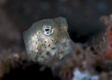 Żółte łaciaste nieletnie boxfish łuny obraz royalty free