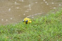 Żółte żaby bawić się Fotografia Royalty Free