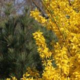 Żółte forsycje rozgałęziają się przeciw zielonym igłom biała sosna obrazy stock