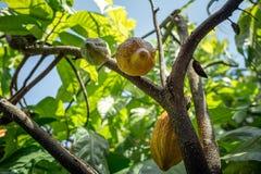 Żółte kakaowe fasole obraz stock