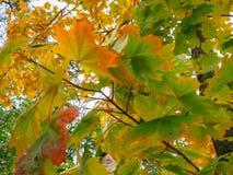 Żółte korony drzewa w parku w jesieni popołudniu Obrazy Royalty Free