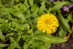 żółte kwiat cynie Fotografia Royalty Free